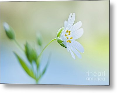 Little Stitchwort Metal Print by Jacky Parker