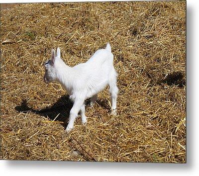 Little White Goat Metal Print by Carolyn Ricks