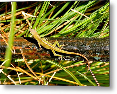 Metal Print featuring the photograph Lizard by Cyril Maza
