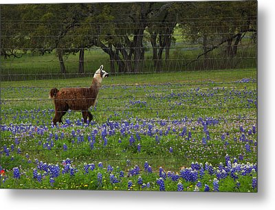 Metal Print featuring the photograph Llama In Bluebonnets by Susan Rovira