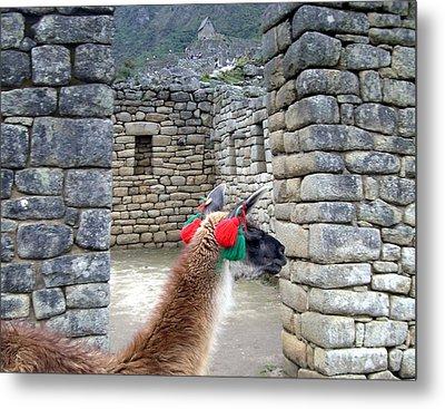 Llama Touring Machu Picchu Metal Print by Barbie Corbett-Newmin