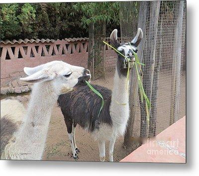 Llamas In Peru Metal Print