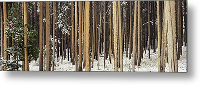 Lodgepole Pines And Snow Grand Teton Metal Print by Panoramic Images