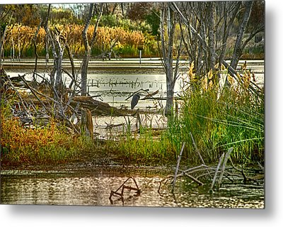 Lone Blue Heron In Fall Metal Print by Kimberleigh Ladd