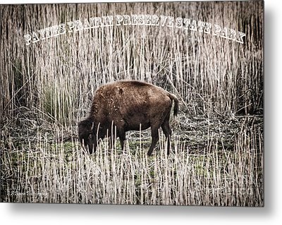 Lone Buffalo Metal Print by Barbara Bowen