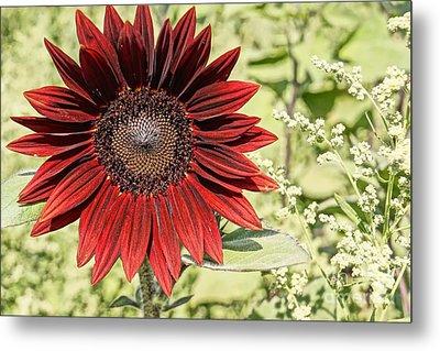 Lone Red Sunflower Metal Print by Kerri Mortenson
