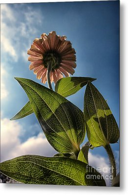 Lone Zinnia 01 Metal Print by Thomas Woolworth