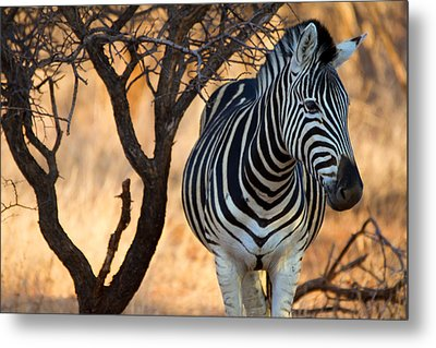 Lonely Zebra Metal Print