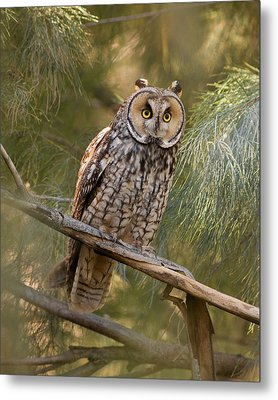 Long-eared Owl Metal Print by Doug Herr