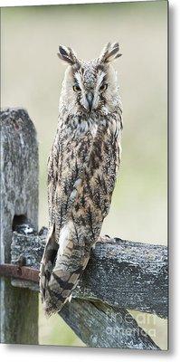 Long Eared Owl Metal Print by Tim Gainey