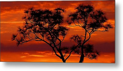 Long Leaf Pine Metal Print