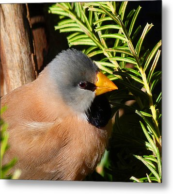 Long-tailed Finch Metal Print by Margaret Saheed