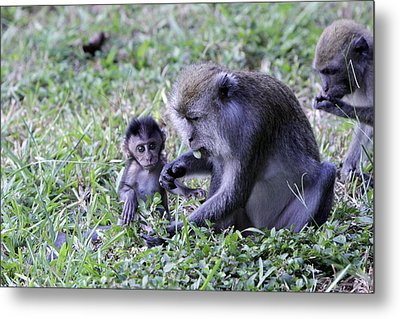 Metal Print featuring the photograph Long Tailed Macaque Family by Shoal Hollingsworth