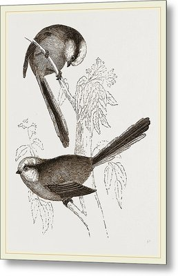 Long-tailed Titmice Metal Print by Litz Collection