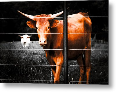 Longhorn Curiosity Metal Print by Bartz Johnson