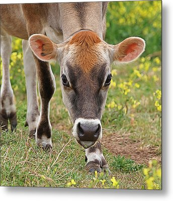 Look Into My Eyes - Jersey Cow - Square Metal Print