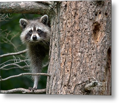 Looking For Food Metal Print by Cheryl Baxter