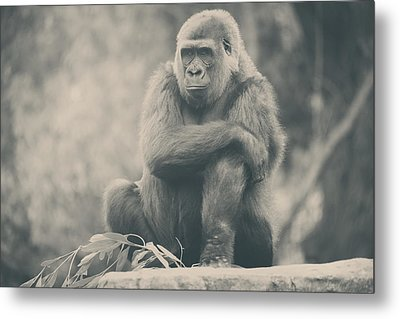 Looking So Sad Metal Print by Laurie Search