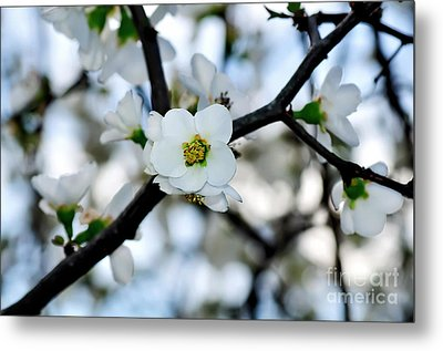 Looking Through The Blossoms Metal Print by Kaye Menner