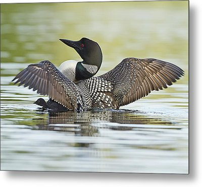 Loon Wing Spread With Chick Metal Print