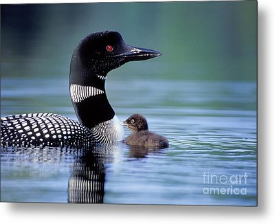 Loon With Chick #16 Metal Print by Jim Block