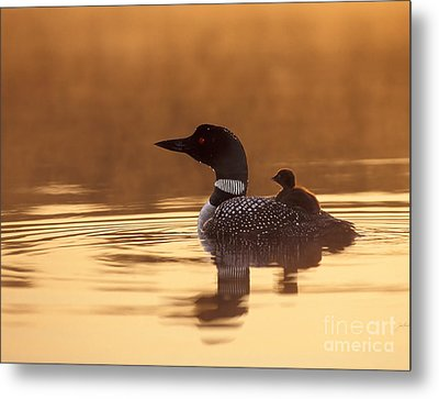 Loon With Chick At Dawn Metal Print by Jim Block