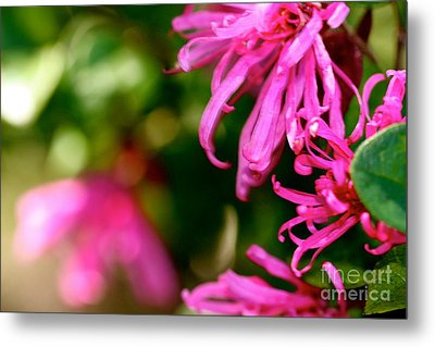 Loropetalum Study 1 Metal Print by Cathy Dee Janes
