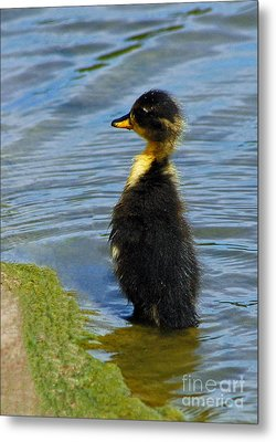 Lost Duckling Metal Print