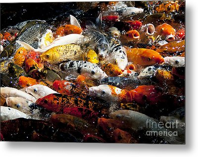 Lots Of Hungry Koi  Metal Print