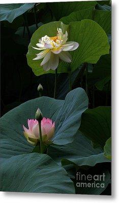 Lotus Beauties In White Pink Gold And Green Metal Print by Byron Varvarigos