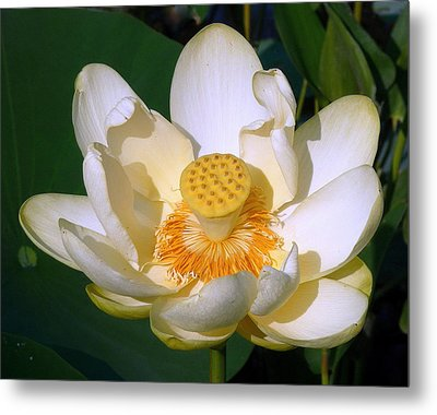 Metal Print featuring the photograph Lotus Blossom # 1 by Jim Whalen