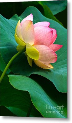 Lotus Blossom And Leaves Metal Print