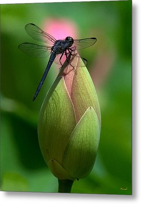 Lotus Bud And Slatey Skimmer Dragonfly Dl006 Metal Print by Gerry Gantt
