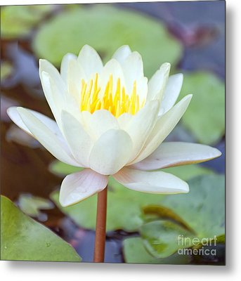 Lotus Flower 02 Metal Print by Antony McAulay