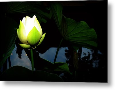 Lotus Flower 2 Metal Print by Kara  Stewart