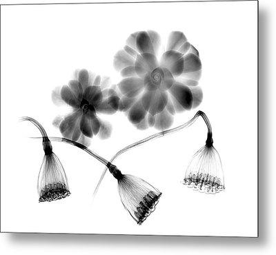 Lotus Seedheads And Houseleeks Metal Print by Albert Koetsier X-ray