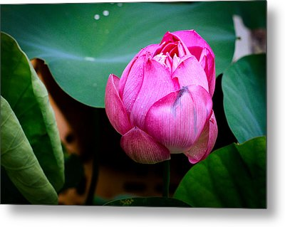 Lotus Singapore Flower Metal Print by Donald Chen