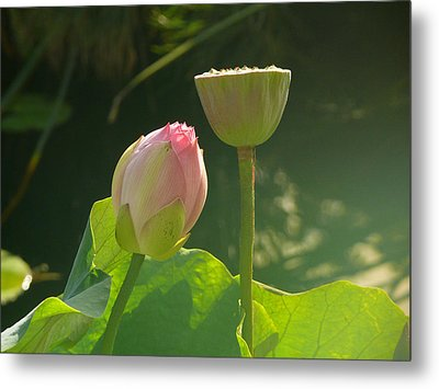 Lotus Soft Metal Print by Evelyn Tambour