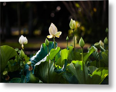 Lotuses In The Evening Light Metal Print by Jenny Rainbow