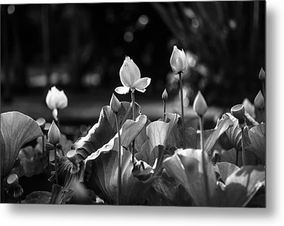 Lotuses In The Pond. Black And White Metal Print by Jenny Rainbow