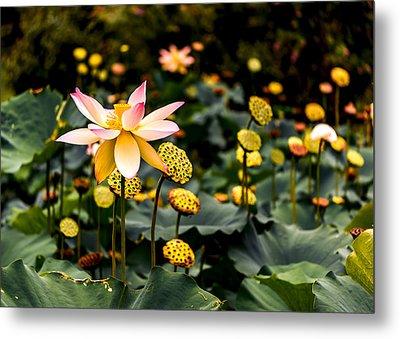 Lotuses Metal Print by Jon Woodhams