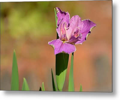 Louisiana Iris Metal Print