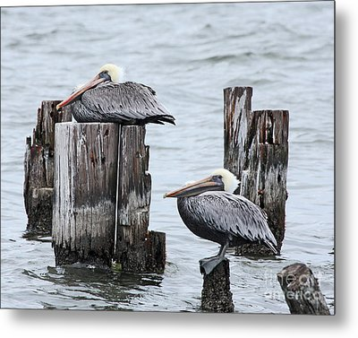 Louisiana Pelicans On Lake Ponchartrain Metal Print