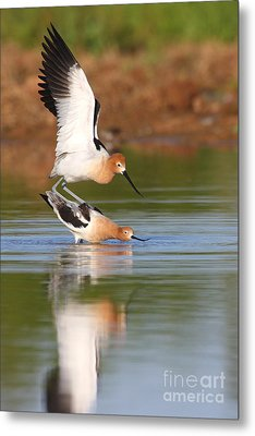 Metal Print featuring the photograph Love Avocet Style by Ruth Jolly