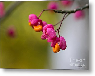 Lovely Colors - European Spindle Flower Seeds Metal Print by Jivko Nakev