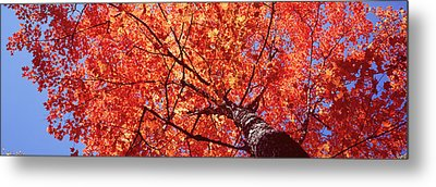 Low Angle View Of A Maple Tree, Acadia Metal Print