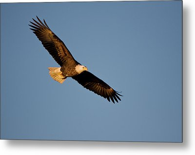 Low Angle View Of Bald Eagle Haliaeetus Metal Print by Panoramic Images
