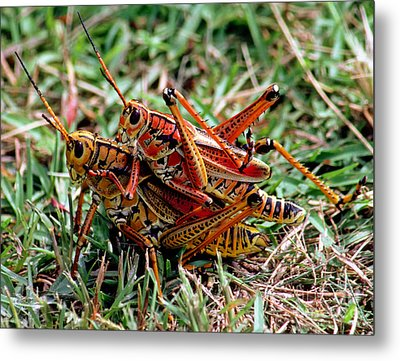 Lubber Grasshoppers Mating Metal Print