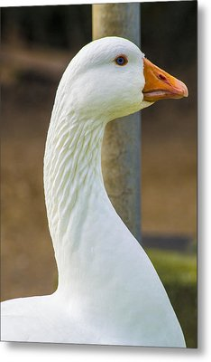 Metal Print featuring the photograph Lucy Goose by Naomi Burgess
