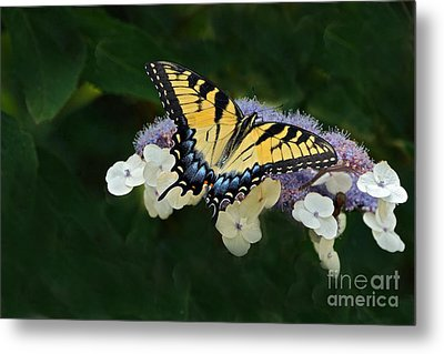 Luminous Butterfly On Lacecap Hydrangea Metal Print by Byron Varvarigos